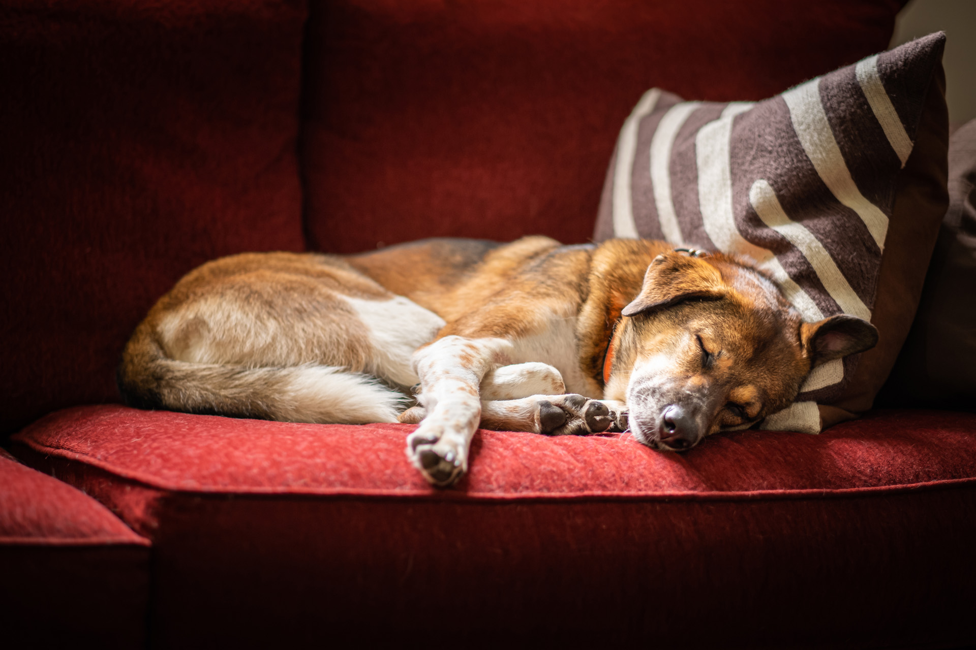Senior dog sleeping on the couch
