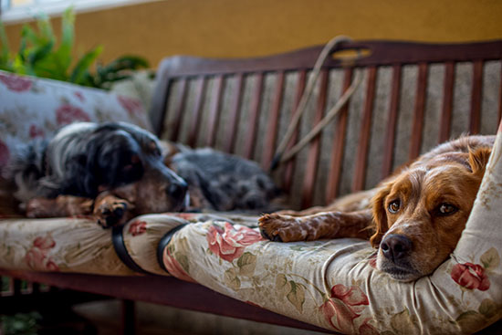 dogs resting on a sofa